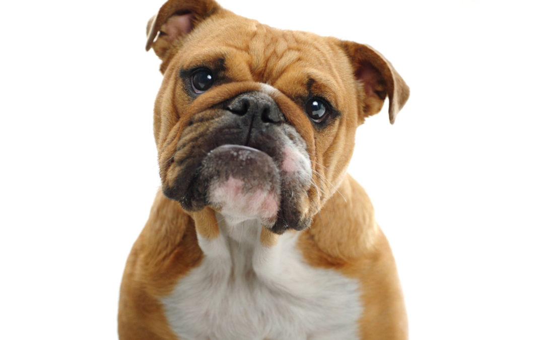 Un Bulldog loin d'être rasoir